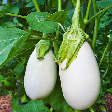 Eggplant White Imolese Bianca (Joe's Farm) Each