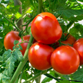 Tomatoes Large Red Organic (Joe's Farm) 2#