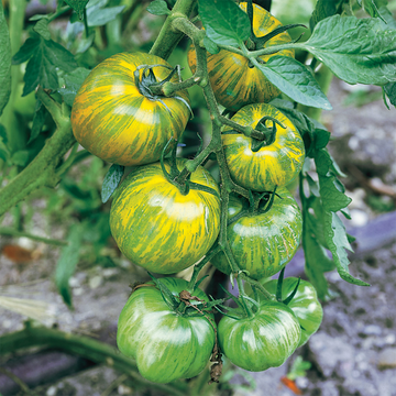 Green Zebra Tomato Plant, Heirloom