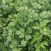 Italian Parsley Plant, Joe's Farm