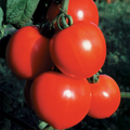 New Girl Tomato Plant, Large