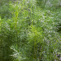 Mammoth Dill Plant
