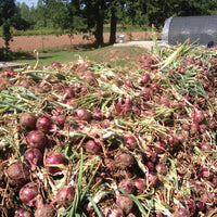 Organic Sweet Red Onions Bunch, Joe's Farm
