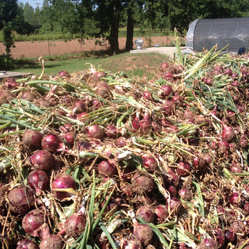 Onions Red Candy (Joe's Farm) 2#