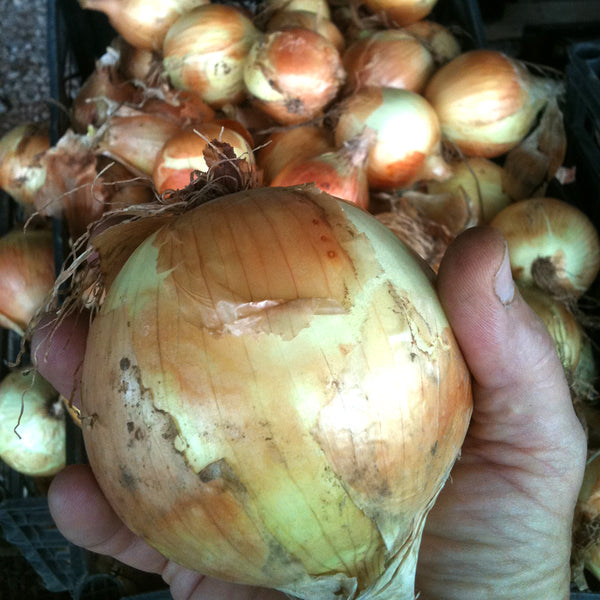 Organic Sweet Yellow Onions Bunch, Joe's Farm