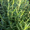 Speedy Rosemary Plant