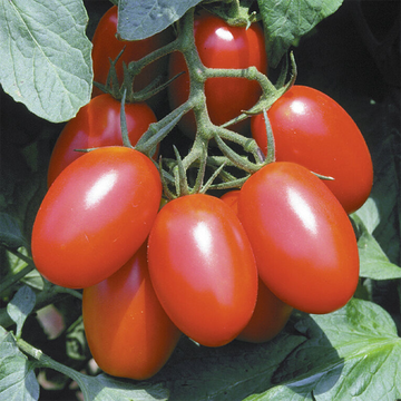 Juliet Tomato Plant, Small