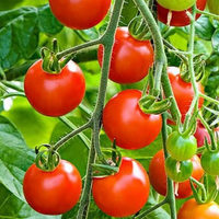 Sweet Treat Tomato Plant, Small