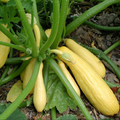 Squash Yellow Straighneck Organic (Joe's Farm) 2#