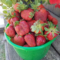 You Pick Strawberries - by the basket, Joe's Farm