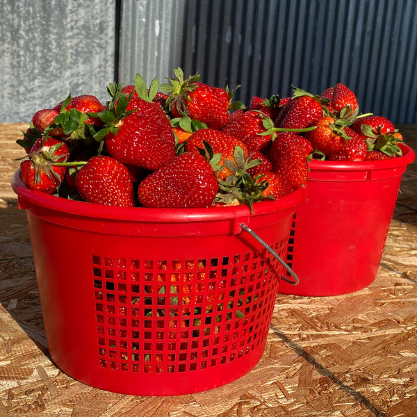 You Pick Organic Strawberries - Heaping Gallon, Joe's Farm