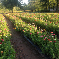 You Pick Zinnia's - Mason Jar Full, Joe's Farm