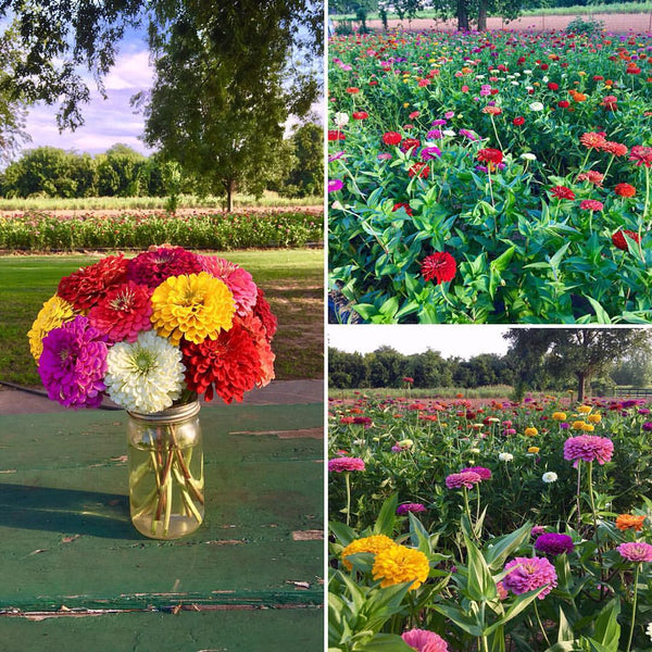 You Pick Zinnias - Mason Jar Full, Joe's Farm