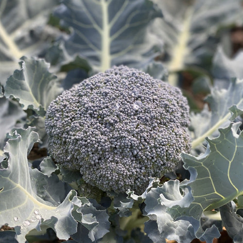 biodynamisk broccoli knuthenlund