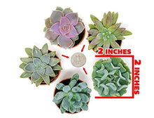 Load image into Gallery viewer, Succulent Plants (5 Pack), Fully Rooted in Planter Pots with Soil -  Real Live Potted Succulents / Unique Indoor Cactus Decor by Plants for Pets