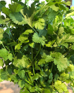 Fresh Coriander / Cilantro (Bunch / Manojo)