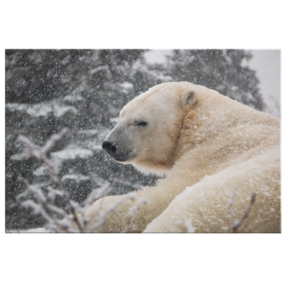 STRETCHED CANVAS - SNOWY GANUK - Canadian Polar Bear Habitat Market