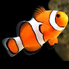 True Percula Clownfish - Reef Aquaria