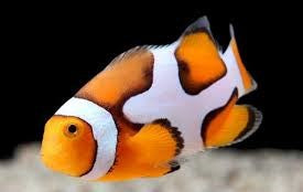 Picasso Percula Clownfish pair - Reef Aquaria