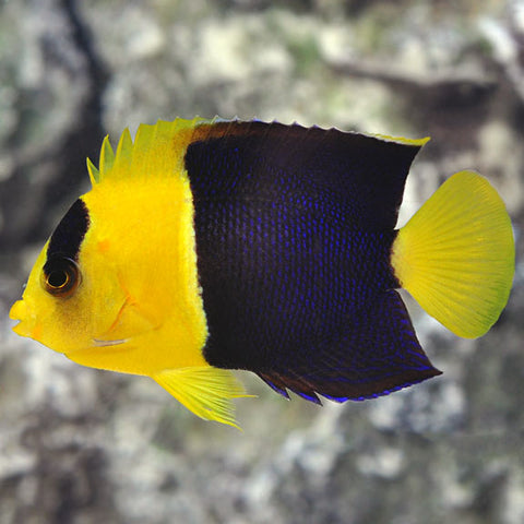 Bicolor Angelfish - Reef Aquaria