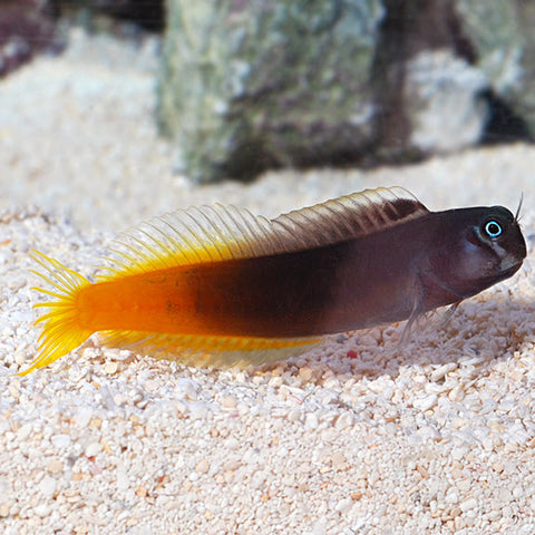 Bi-Colour Blenny - Reef Aquaria