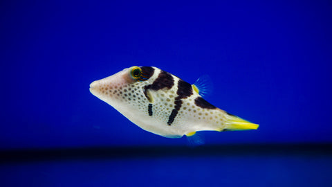 Black Saddle Puffer Fish - Reef Aquaria