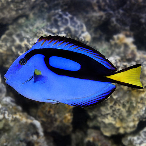 Blue Tang - Reef Aquaria