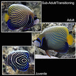 Juv. Emperor Angelfish