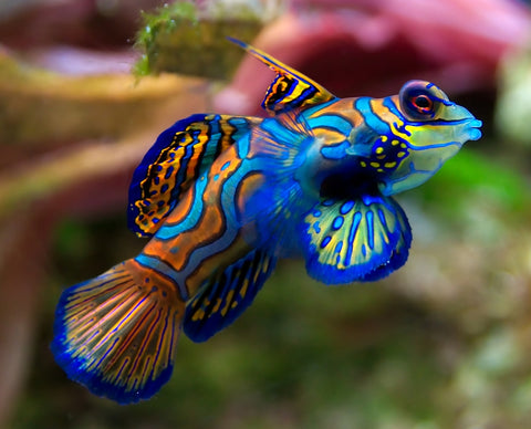 Green Mandarin - Reef Aquaria
