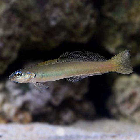 Green Silk Gudgeon Dartfish