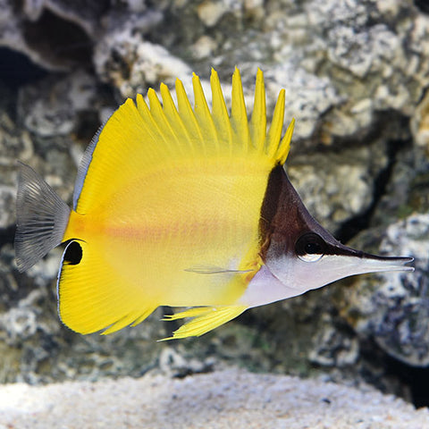 Long nose butterflyfish - Reef Aquaria