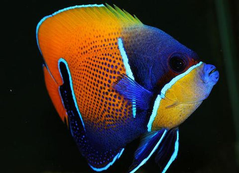 Majestic Angelfish Adult - Reef Aquaria