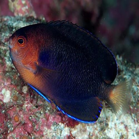 Pygmy Angelfish - Reef Aquaria