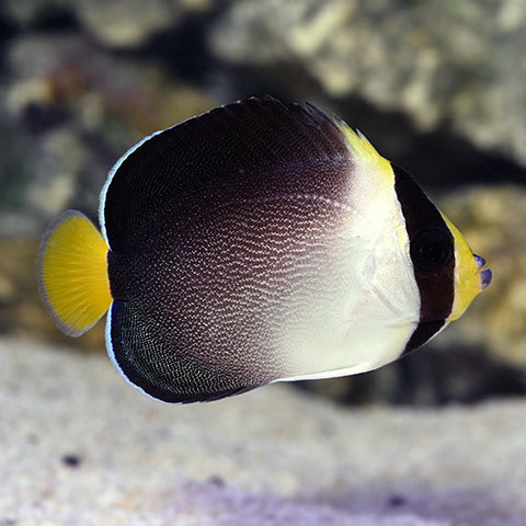 Singapore Angelfish - Reef Aquaria