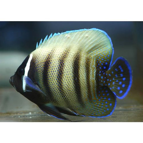 Six Bar Angelfish - Reef Aquaria