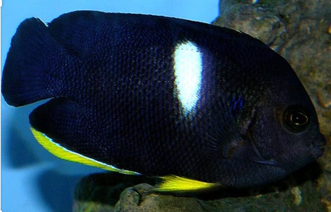 Melas Angelfish - Reef Aquaria