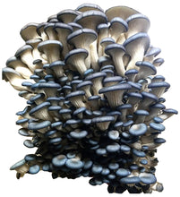 Load image into Gallery viewer, Oyster Mushroom Grow Kit FREE SHIPPING!