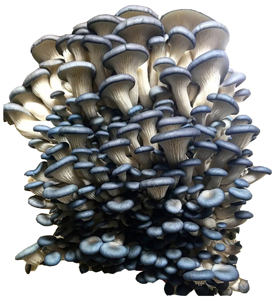 Oyster Mushroom Grow Kit FREE SHIPPING!