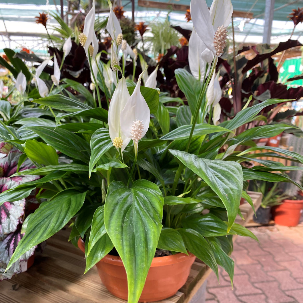 Spathiphyllum coupe