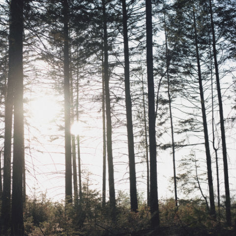 sun behind the pine trees of the forest