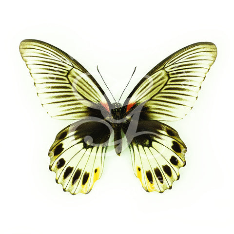 Great Mormon Butterfly Print