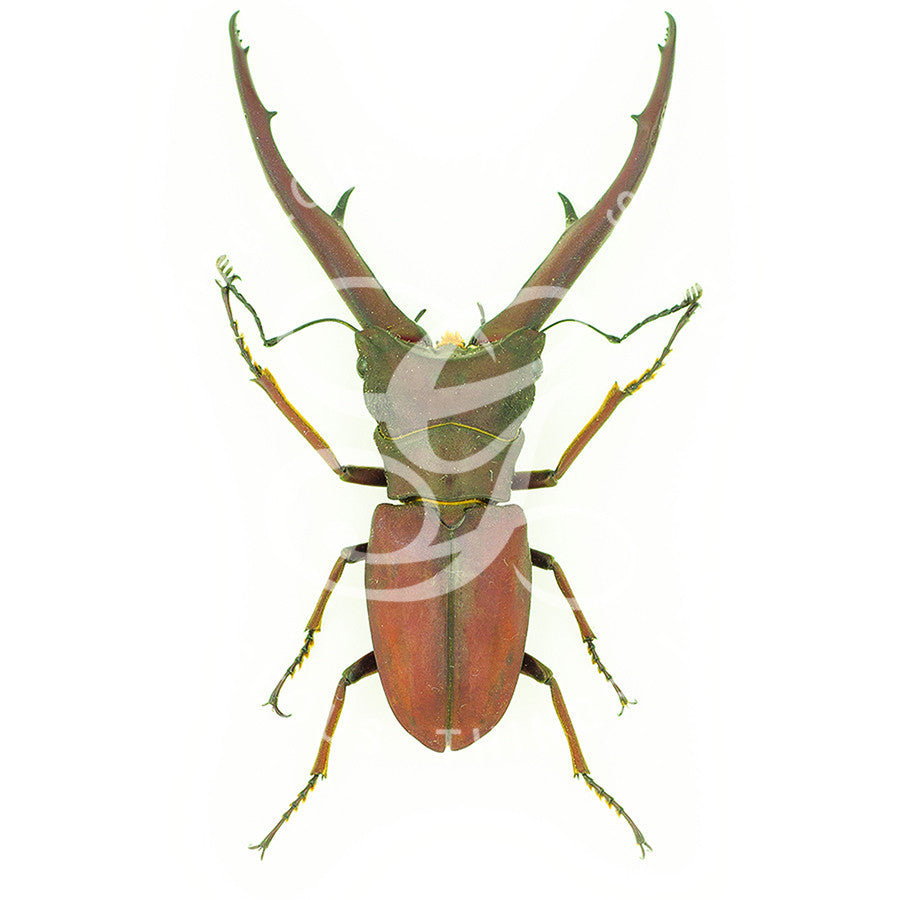 Red Stag Beetle Print