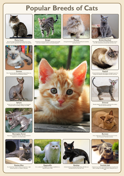 Popular Breeds Of Cats Poster Tiger Moon