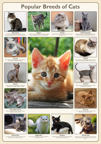 Popular Breeds of Cats Poster