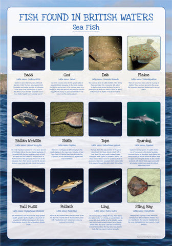 Fish of Britain Poster - Sea Fish