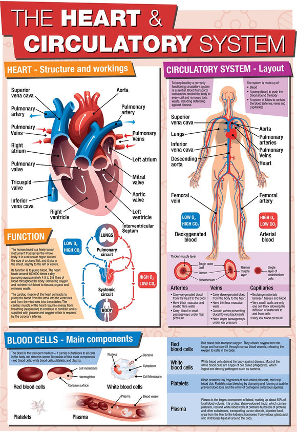Educational GCSE Biology or General Science poster to support the understanding of the heart and circulatory system. The poster covers the following areas of study: The Heart - structure and workings The Circulatory System - Layout Blood Cells - Main components