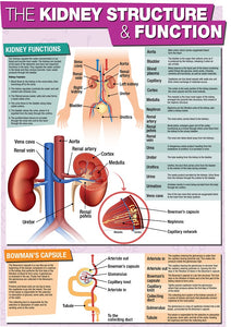 GCSE Science The Kidney Structure & Function - A2 Poster
