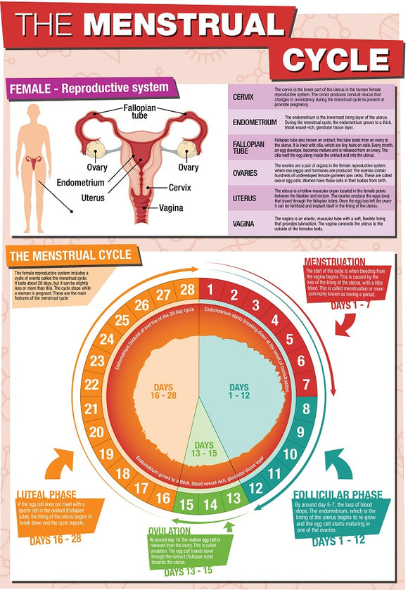 GCSE Science The Menstrual Cycle - A2 Poster