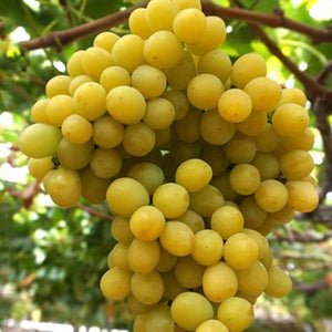 Cotton Candy Grapes - per container
