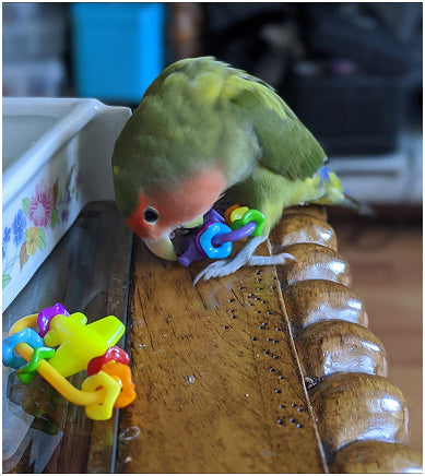 Lovebird playing with Missing Link Foot Toys for Small Birds